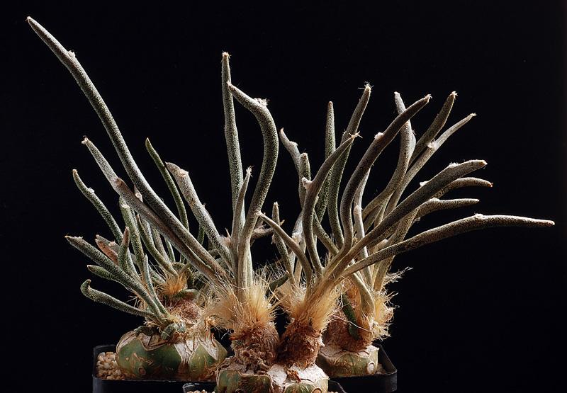 Fiche de culture Astrophytum caput medusae Acm-1310
