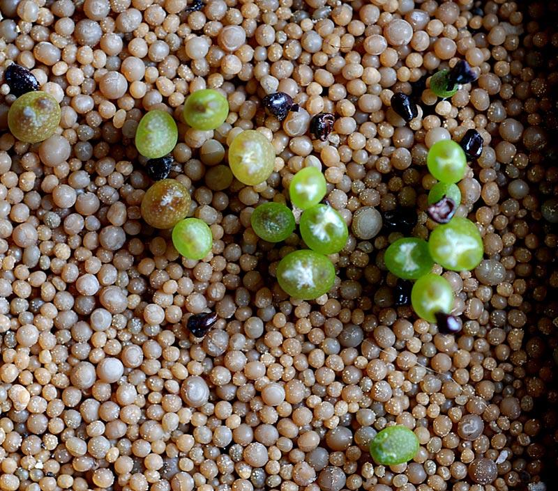 Semis de cactus 2009 chez Aboun Asrtro10