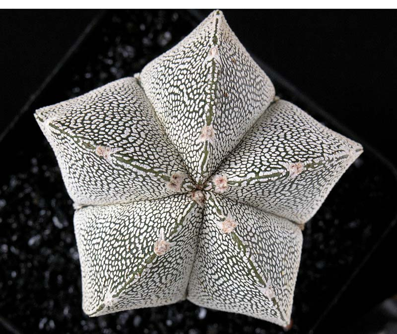 Fiche de culture Astrophytum myriostigma onzuka Astrop33