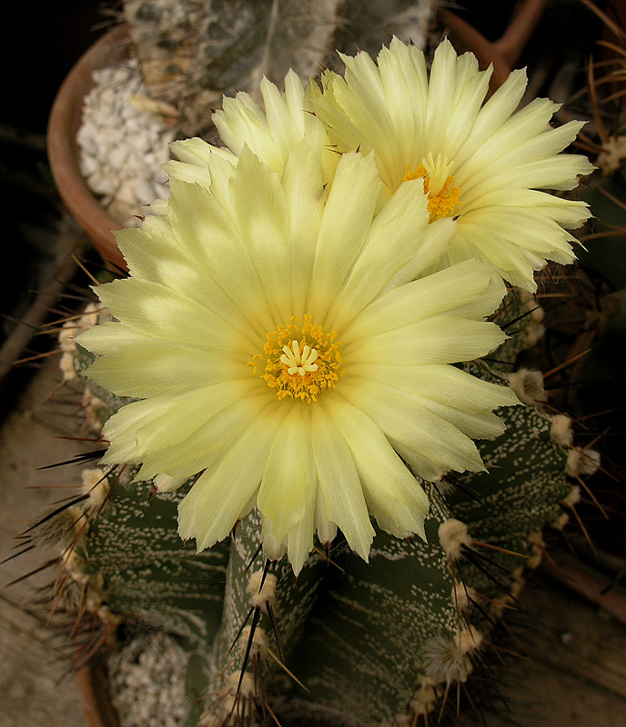Fiche de culture Astrophytum ornatum Astrop35