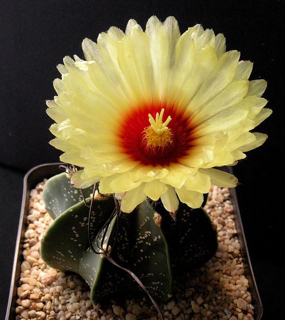 Fiche de culture Astrophytum capricorne Astrop36