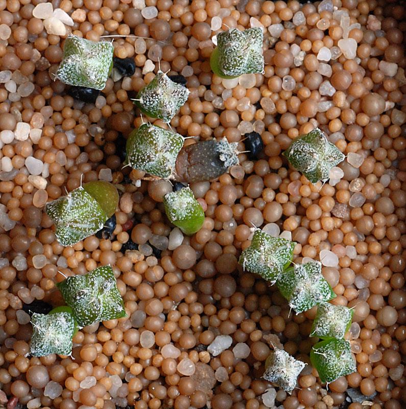Semis de cactus du 18 février 2010 Astrop39