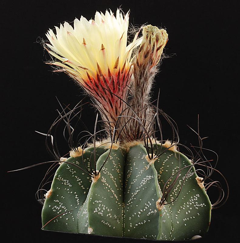 Astrophytum capricorne à coeur rouge................ et Jaune ????? Astrop42