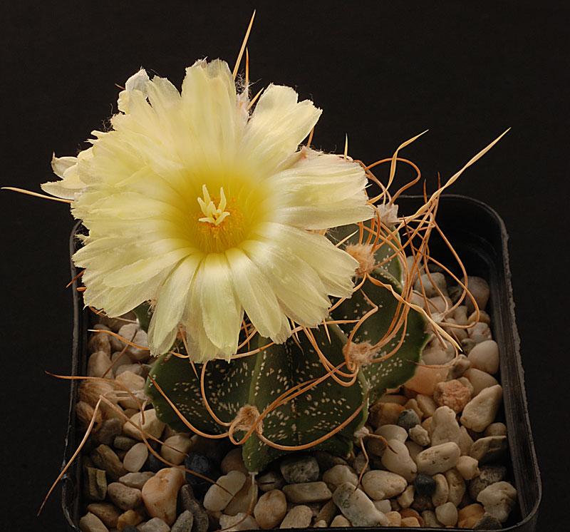 Astrophytum capricorne à coeur rouge................ et Jaune ????? Astrop43