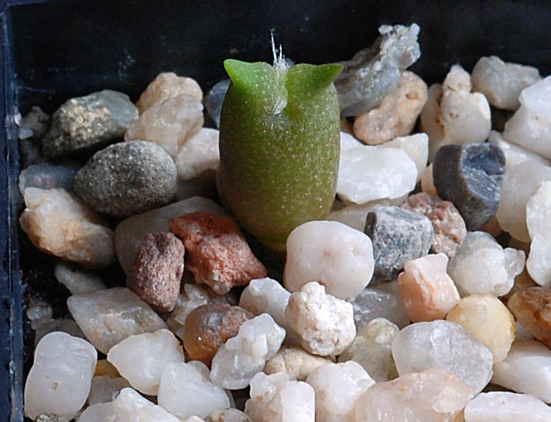 Semis de cactus du 18 février 2010 Echino32