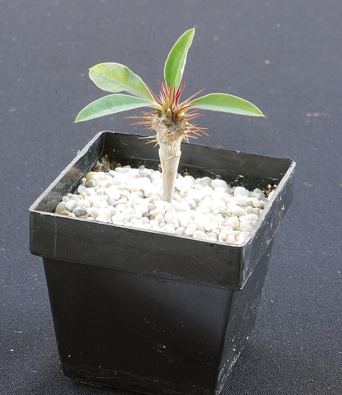 Semis de cactus du 18 février 2010 Euphor10