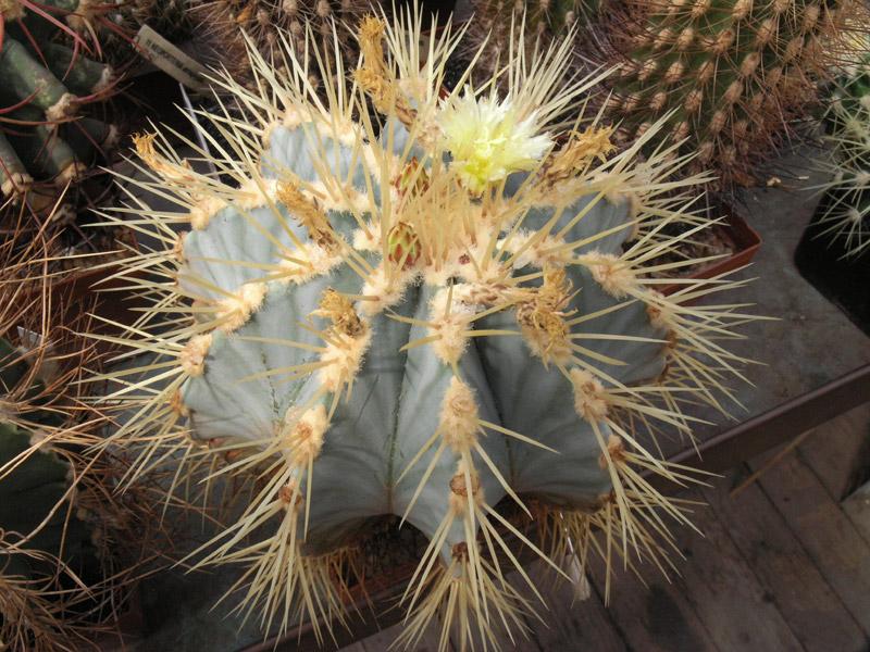 Fiche de culture Ferocactus glaucescens Feroca12