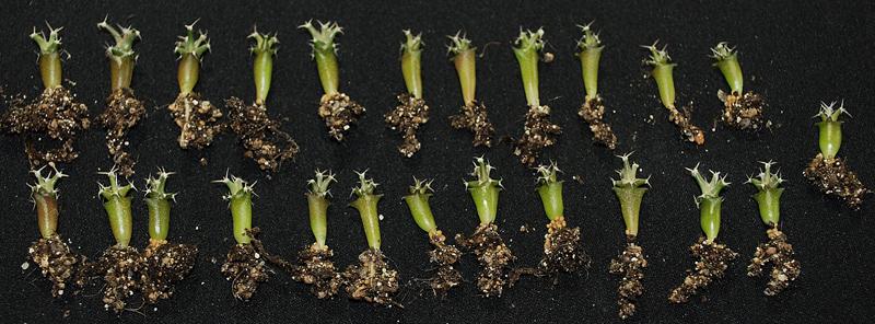 Semis de cactus 2009 chez Aboun Leucht10