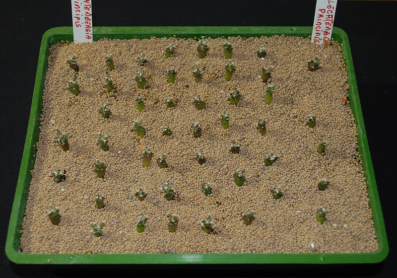 Semis de cactus 2009 chez Aboun Leucht11