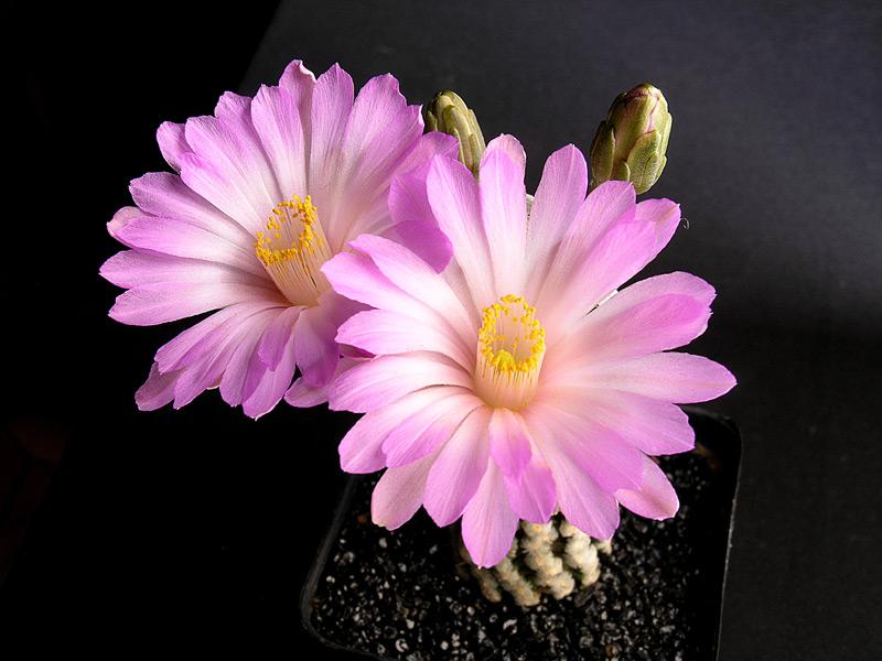 Fiche de culture Mammillaria theresae Mammil27