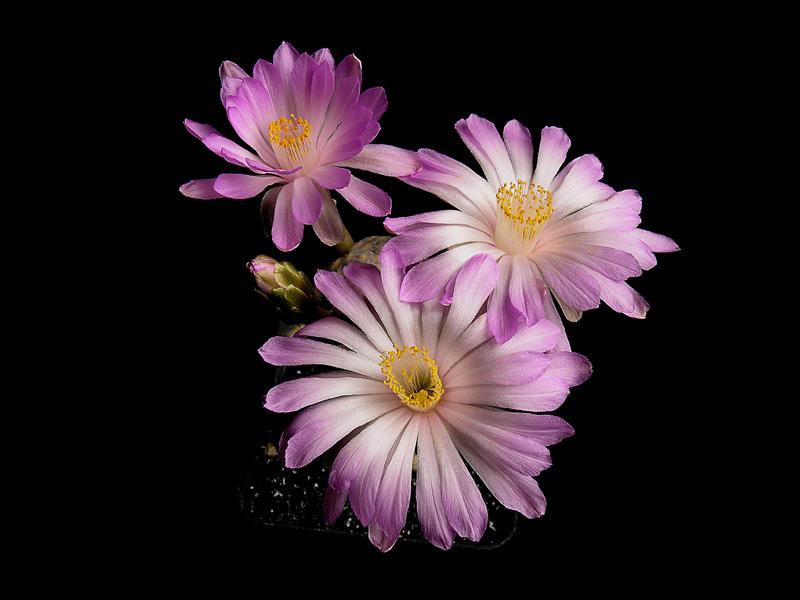 Fiche de culture Mammillaria theresae Mammil28