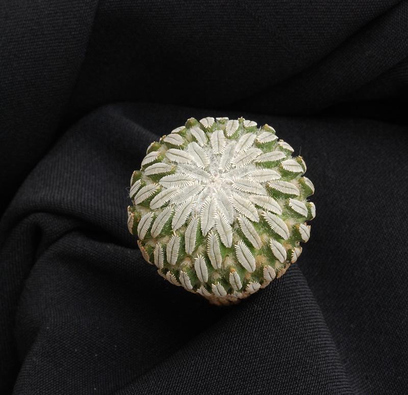 Fiche de culture: Pelecyphora aselliformis Pelecy10