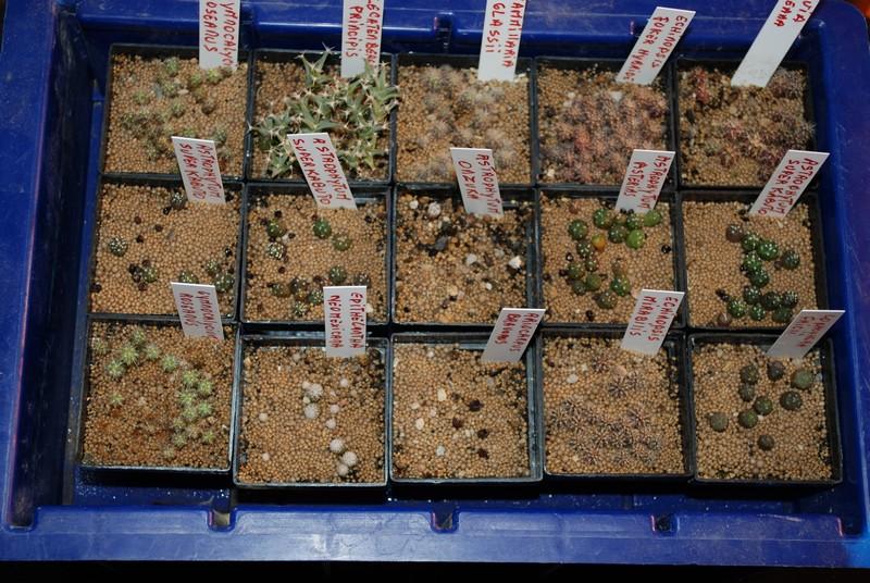 Semis de cactus 2009 chez Aboun Semis_10