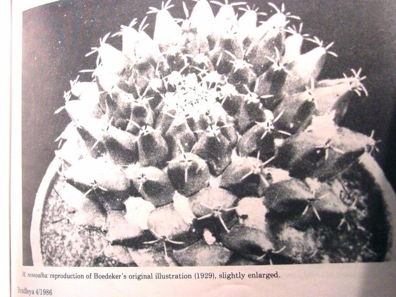 Mammillaria roseoalba Lau1170 - for Maurillio M_rose10