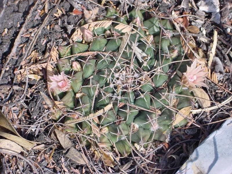 Mammillaria roseoalba Lau1170 - for Maurillio M_rose11