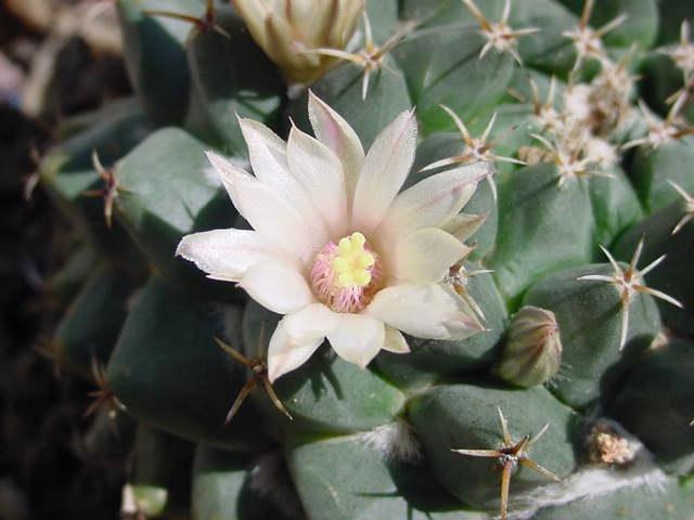 Mammillaria roseoalba Lau1170 - for Maurillio M_rose12