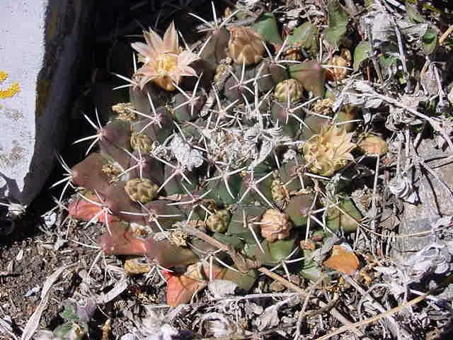 Mammillaria roseoalba Lau1170 - for Maurillio M_soro12