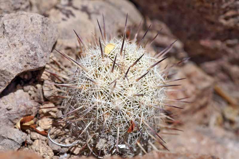 Mammillaria...........? Pict1106