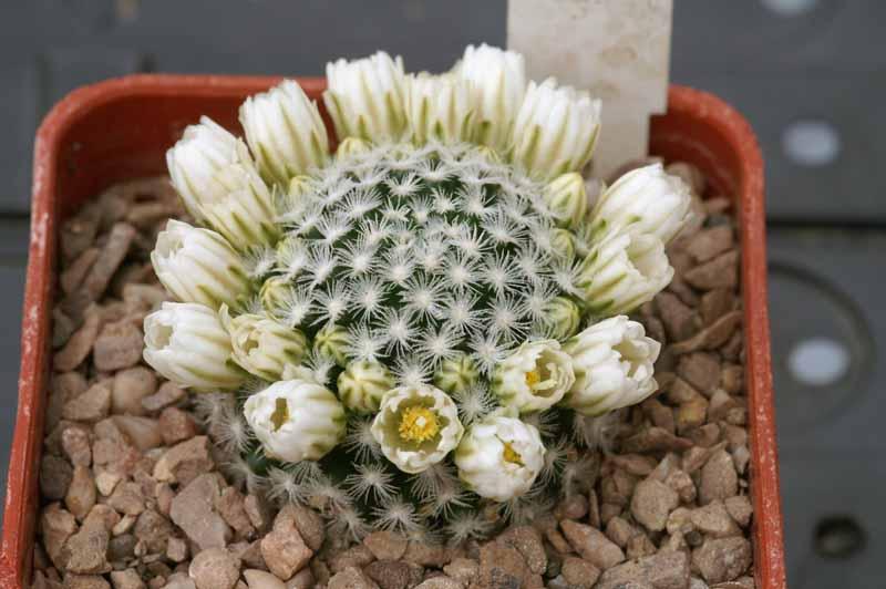 Mammillaria roemeri Pict1119