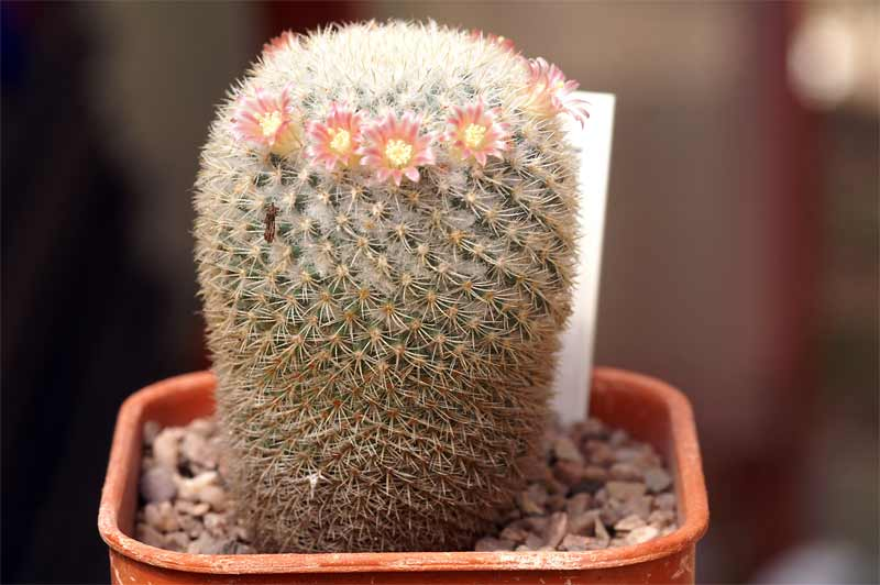 Mammillaria dixanthocentron FO-230 Pict1513
