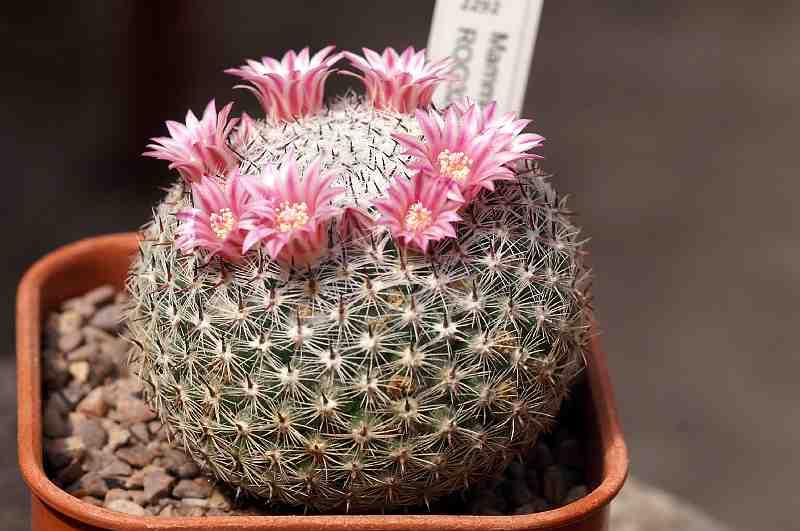 Mammillaria formosa species Pict1519