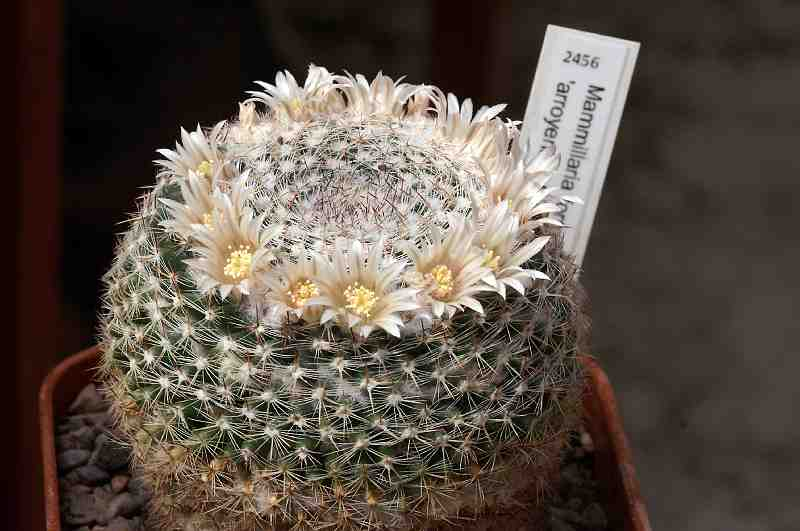 Mammillaria formosa species Pict1521