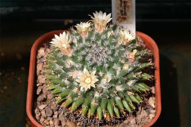Mammillaria sempervivi SB91 Pict9112