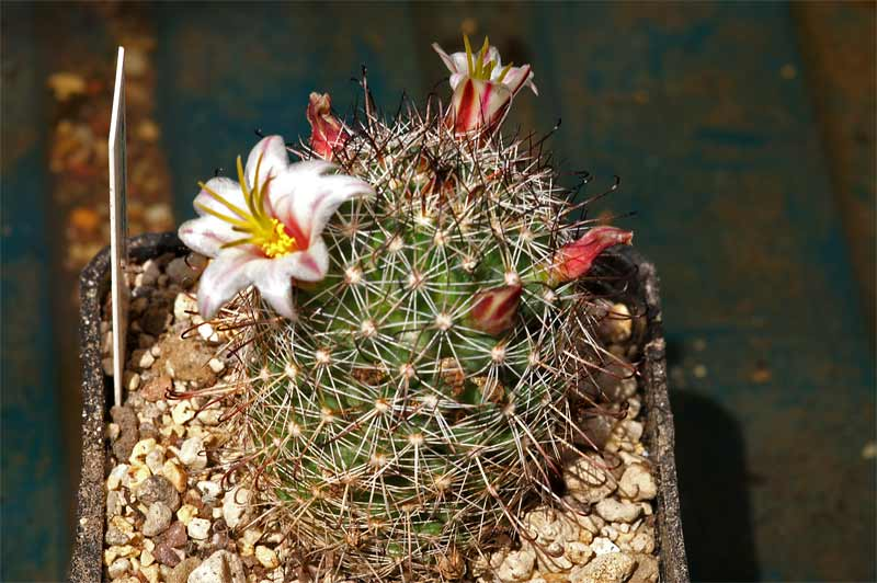 Mammillaria hutchisoniana and friends... Pict9115