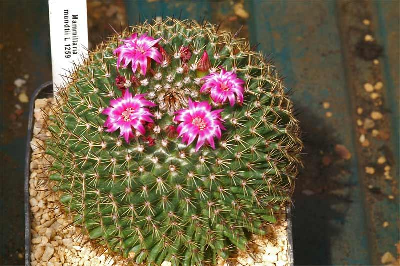 Mammillaria mundtii Lau 1259 Pict9119