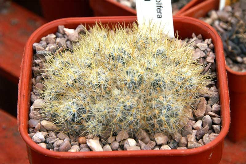 M. prolifera ID. Pict9710