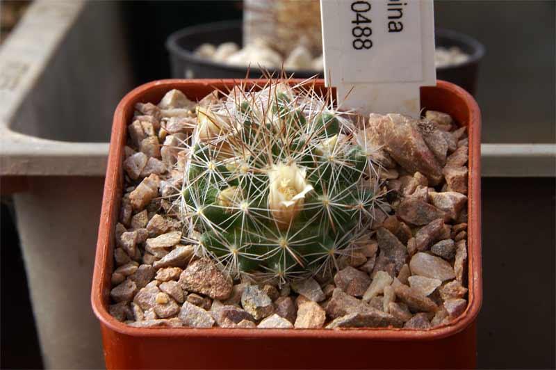 Mammillaria odehnalii Pict9711