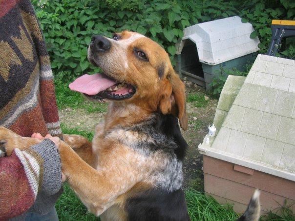 BERLIOZ, croisé beagle mâle, 5 ans, Bretagne Berlio10
