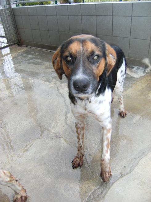 ALTO, croisé beagle/épagneul mâle, 1 an (80) Dscf5110