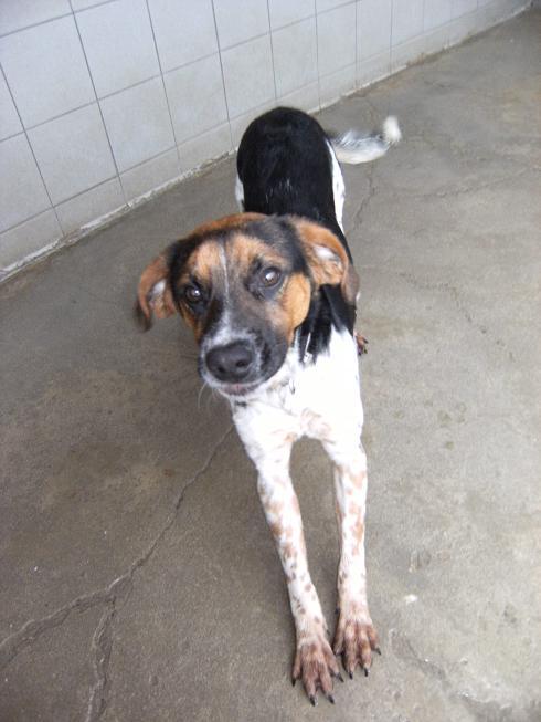 ALTO, croisé beagle/épagneul mâle, 1 an (80) Dscf5111