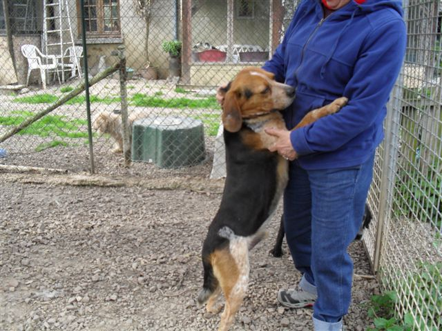 BERLIOZ, croisé beagle mâle, 5 ans, Bretagne For_fi10