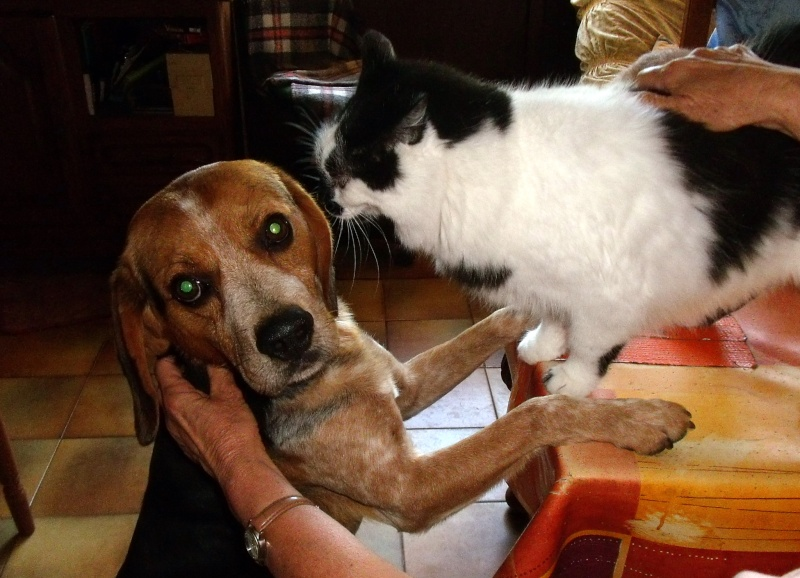 BERLIOZ, croisé beagle mâle, 5 ans, Bretagne Septem18