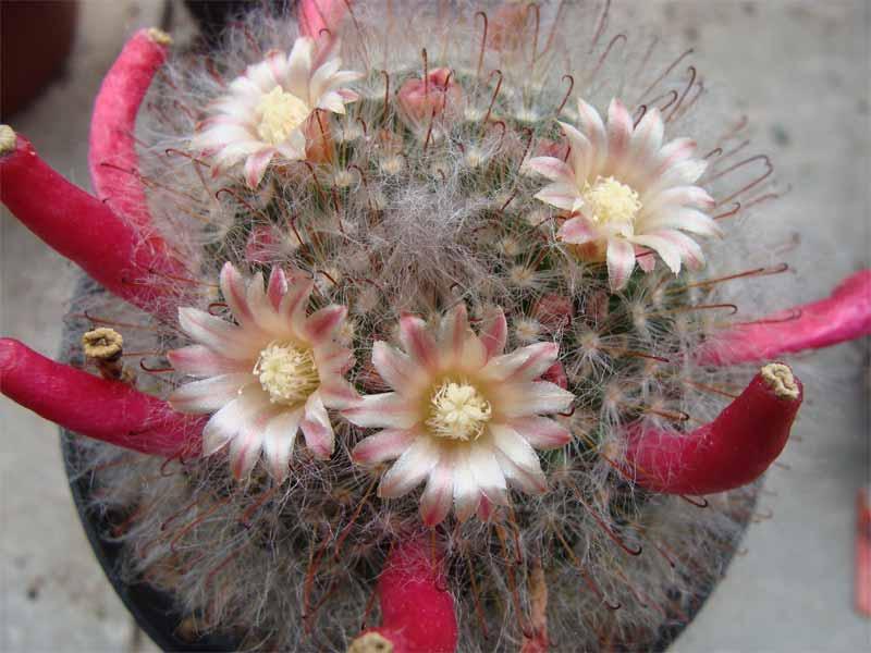 Mammillarias in 2008 Dsc01812