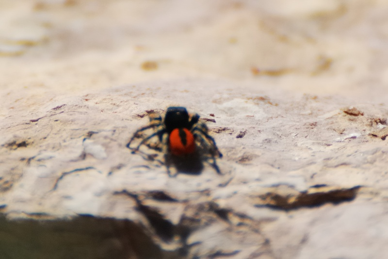 araignée rouge Araign10