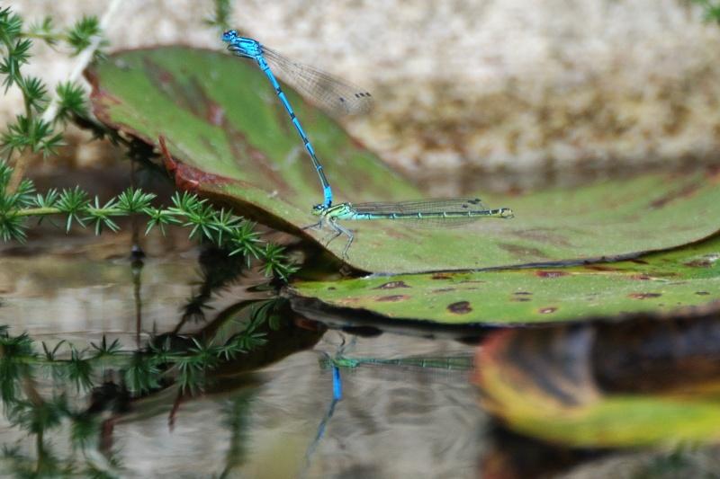 libellules bleues Libell14