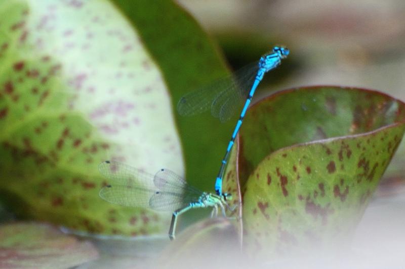 libellules bleues Libell16