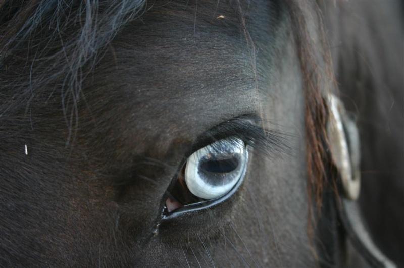 Le pie-noir aux yeux bleus Lilas_10