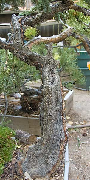 (The problem with) Colorado blue spruce... Wp45_d10