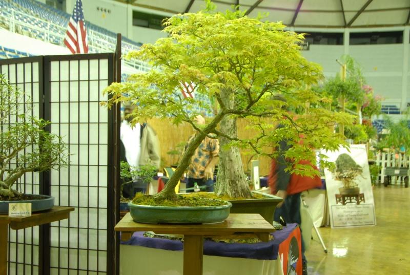 Bloodgood for bonsai / zone 9 Jmaple10