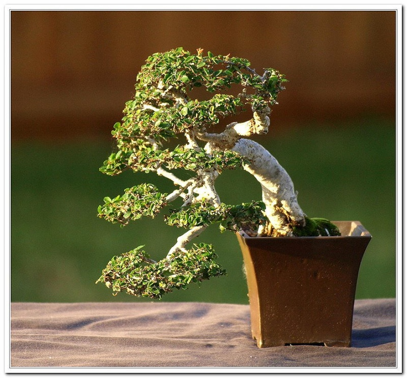 Changed the pot for Cascade Chinese Elm. Celm1110