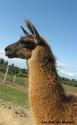 2 Jeunes lamas pour vente ou échange 11_fis10
