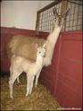 2 Jeunes lamas pour vente ou échange Cachem10
