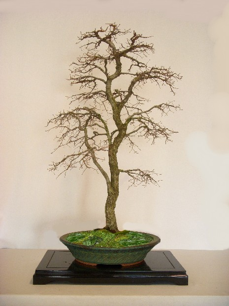 40 year old winged elm Pot_ch11