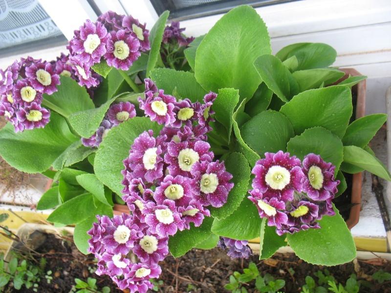 Les premières fleurs de mon balcon 16_avr12