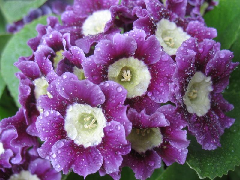 Les premières fleurs de mon balcon 16_avr13