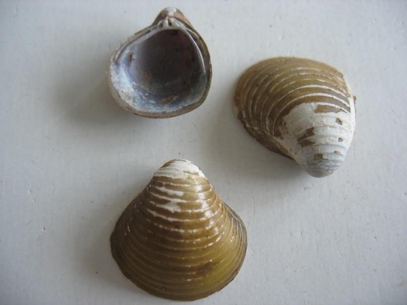 [résolu]Corbicula moreletiana Prime, 1867 ... Brandt, 1974 4_mai_12